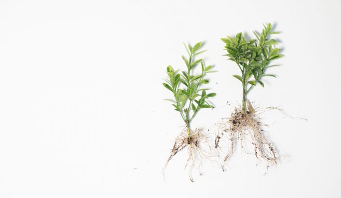 Två sticklingar med rötter